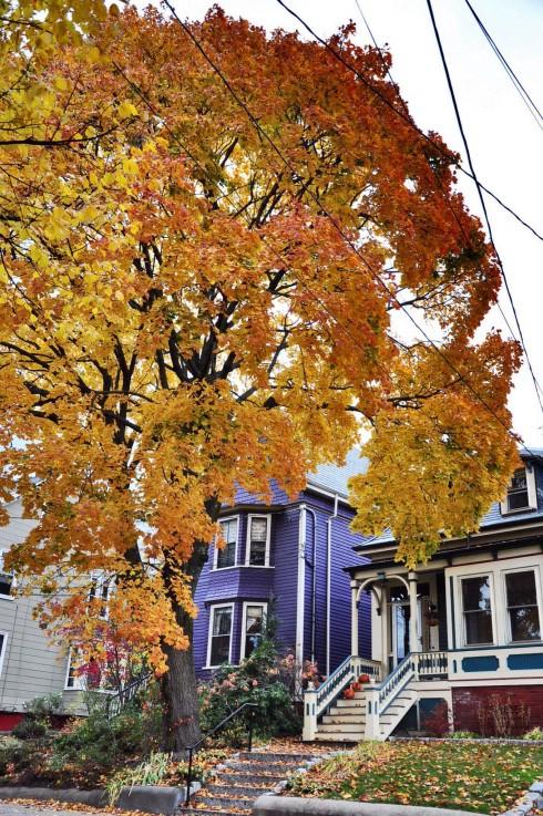 Cây cối vàng rực khắp các ngõ phố ở Cambridge - Massachusetts.