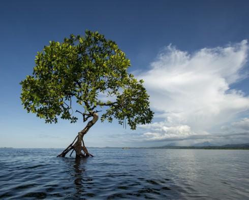 Những cây đước luôn thầm lặng bảo vệ cho cuộc sống của các sinh vật biển ở rạn san hô