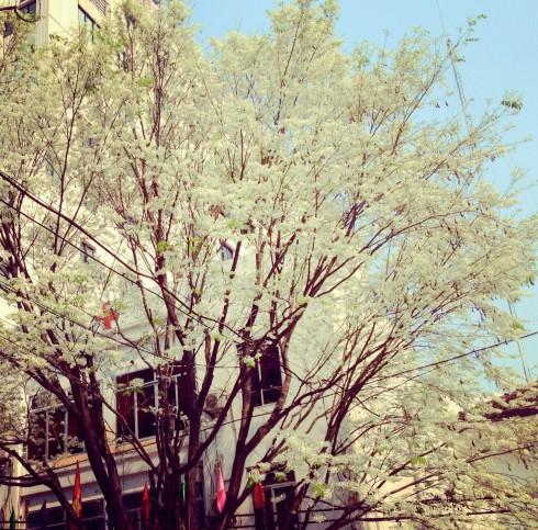 Những tán hoa sưa khiến ai đi xa cũng không nguôi nhớ về Hà Nội.