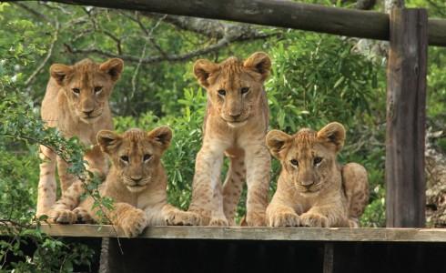 Gia đình sư tử