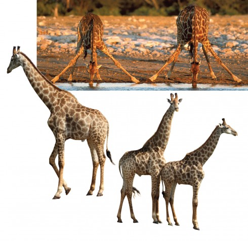 Hưu cao cổ châu Phi