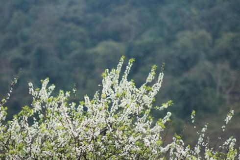 Sắc trắng của hoa mận