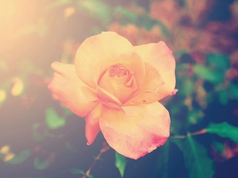 bi quyet lam dep tu hoa hong