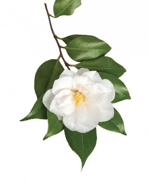 bi quyet lam dep tu tinh dau hoa tra