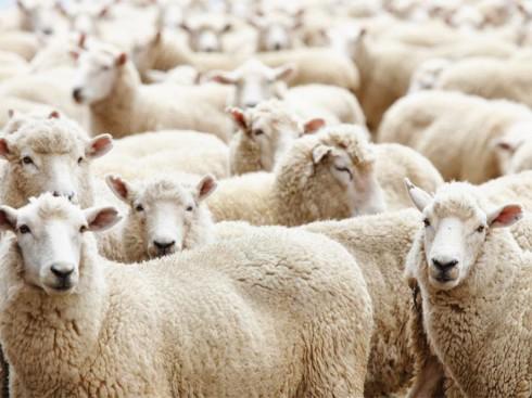 Y học xem nhau thai cừu như một bài thuốc quý để phục hồi sinh lực cho cơ thể.
