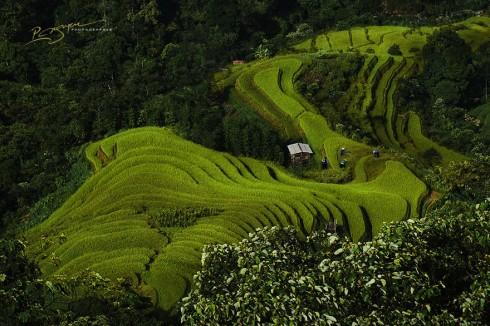 Nung Lady Rice Farmers in Hoang Su Phi (Trồng lúa ở Hoàng Su Phi)