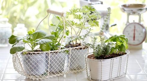 plant-fresh-herbs