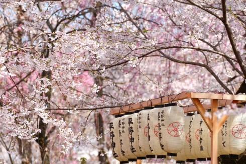 Hoa anh đào đã đẹp như thế_ellevietnam3