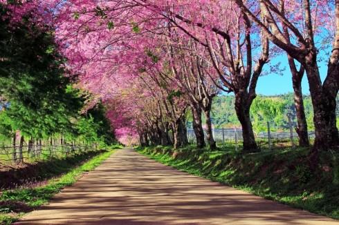 Hoa anh đào đã đẹp như thế_ellevietnam6