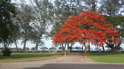 Tất nhiên có rất nhiều thứ đẹp đẽ trong cung điệnKlai Kangwon Palace nhưng du khách bị cấm quay phim chụp hình nên các bạn chỉ có thể chụp những cảnh quan xung quanh và bên ngoài cung điện. Điều đặc biệt gây ấn tượng mạnh khiến du khách khi đến thăm nơi đây và mãi mãi không bao giờ quên chính là cây phượng đỏ hùng vị này.