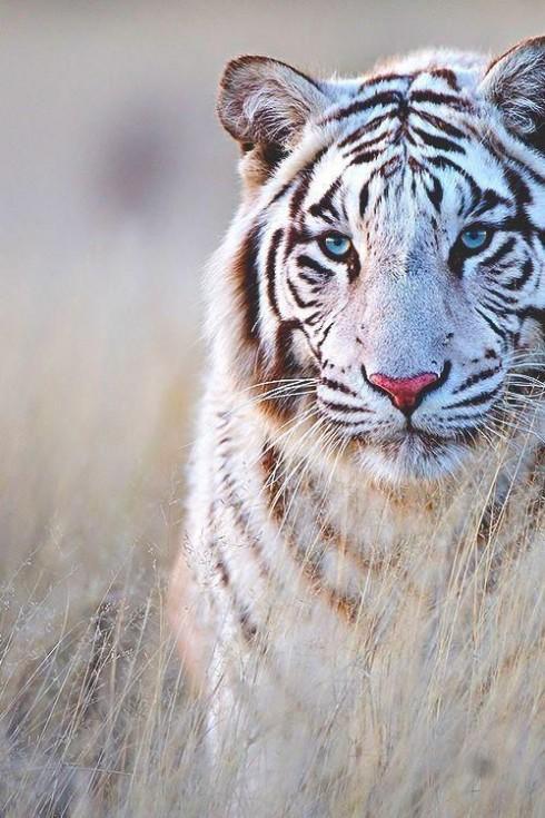 Trắc nghiệm tính cách từ vật nuôi yêu thích: hổ