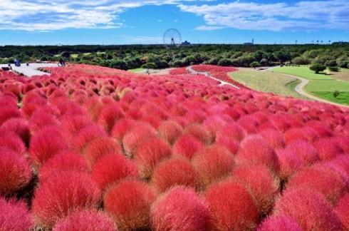 """Địa điểm du lịch: """"Công viên quốc doanh Hitachi Kaihin"""" tỉnh Ibaraki"""