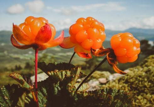 Du lịch Châu Âu - Hái dâu dại giữa rừng Na Uy