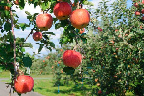 Những trái táo trồng tại vùng Aomori Nhật Bản được chăm chút vô cùng kỹ lưỡng để chín đỏ đều và luôn đảm bảo an toàn, độ ngọt, mọng nước cao nhất.