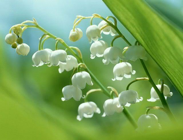 Hương hoa linh lan trắng