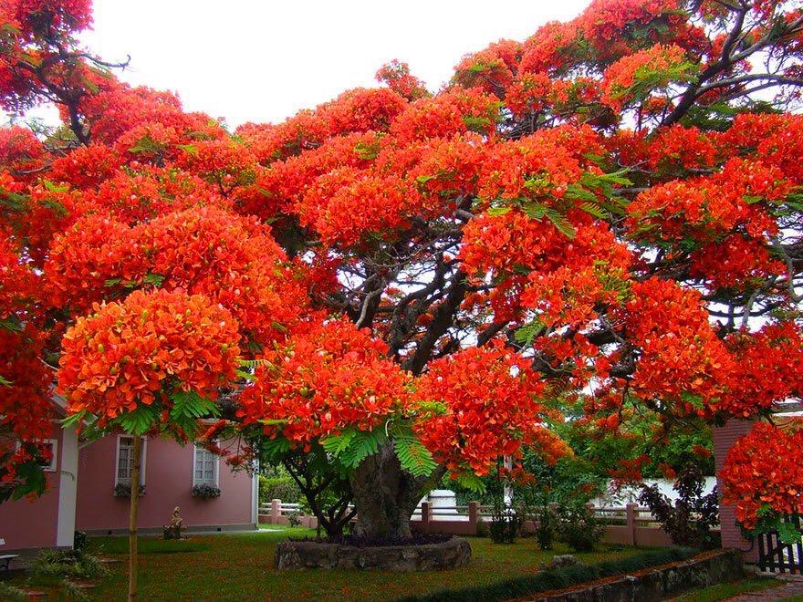 phượng đỏ brazil