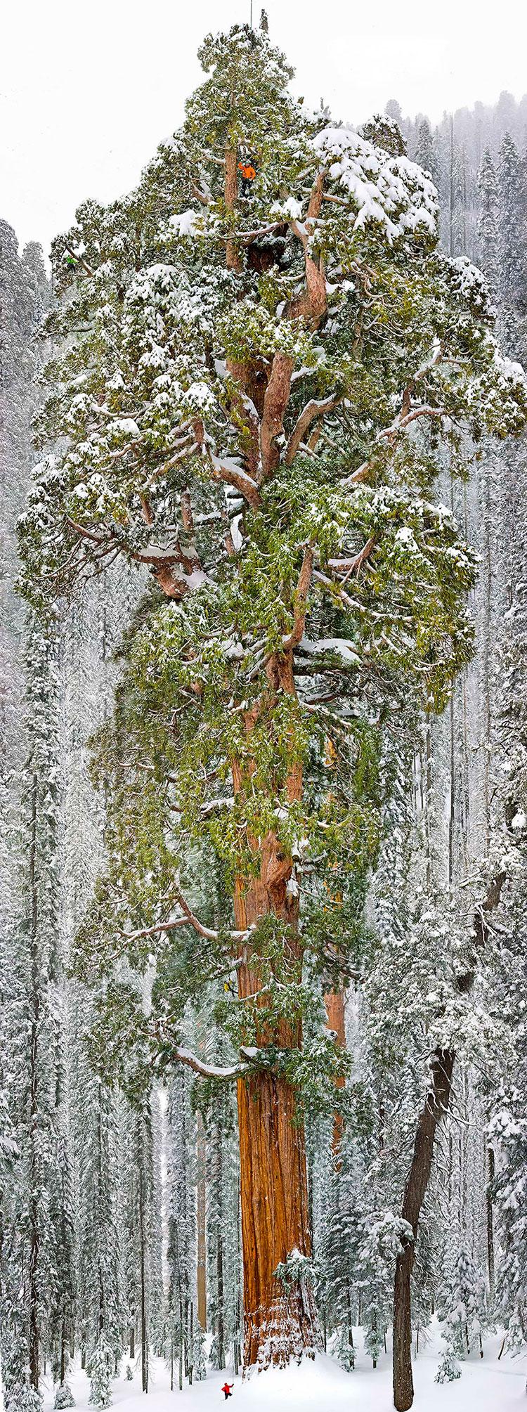 cây khổng lồ