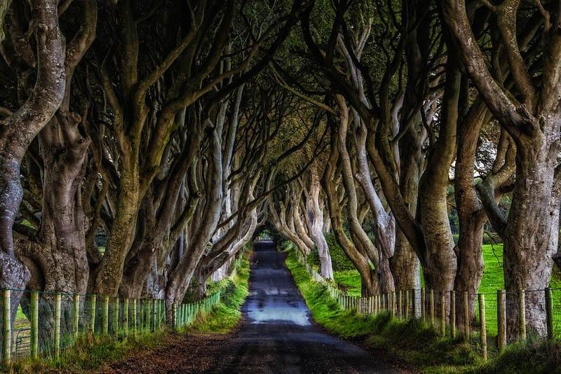 hàng cây sồi bắc Ireland