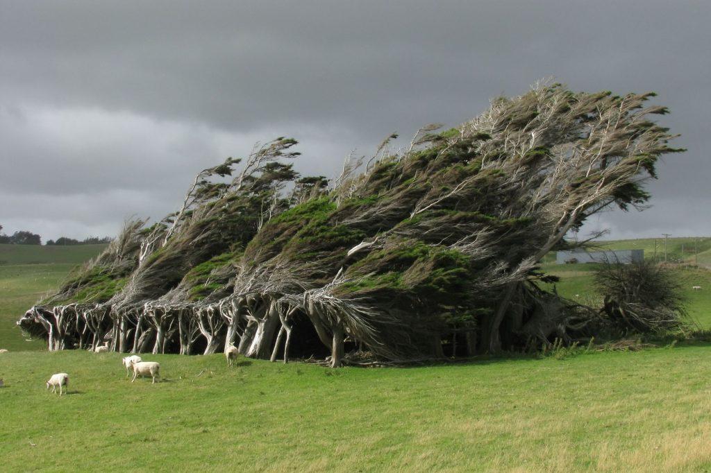 cây gió xoắn