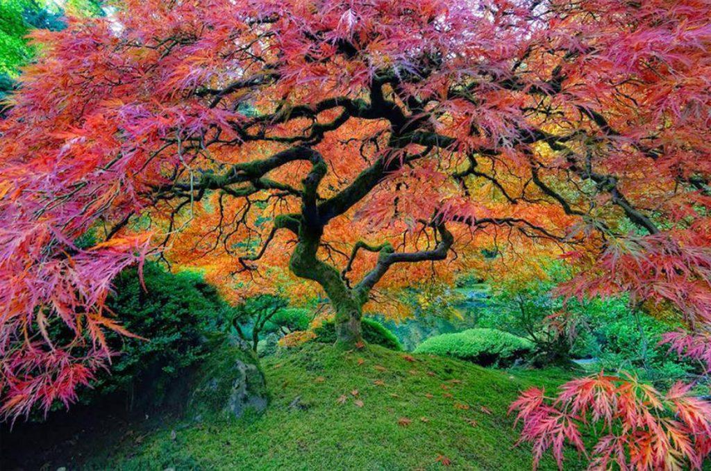 cây phong đỏ