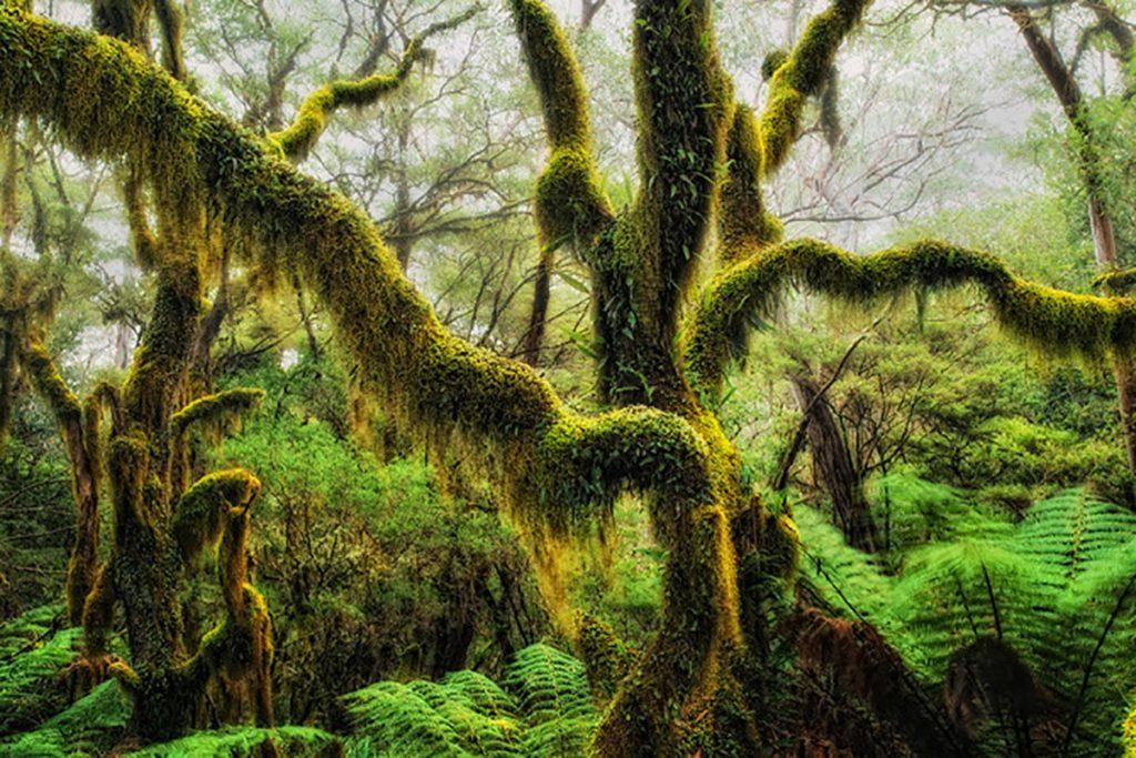 cây sồi rêu