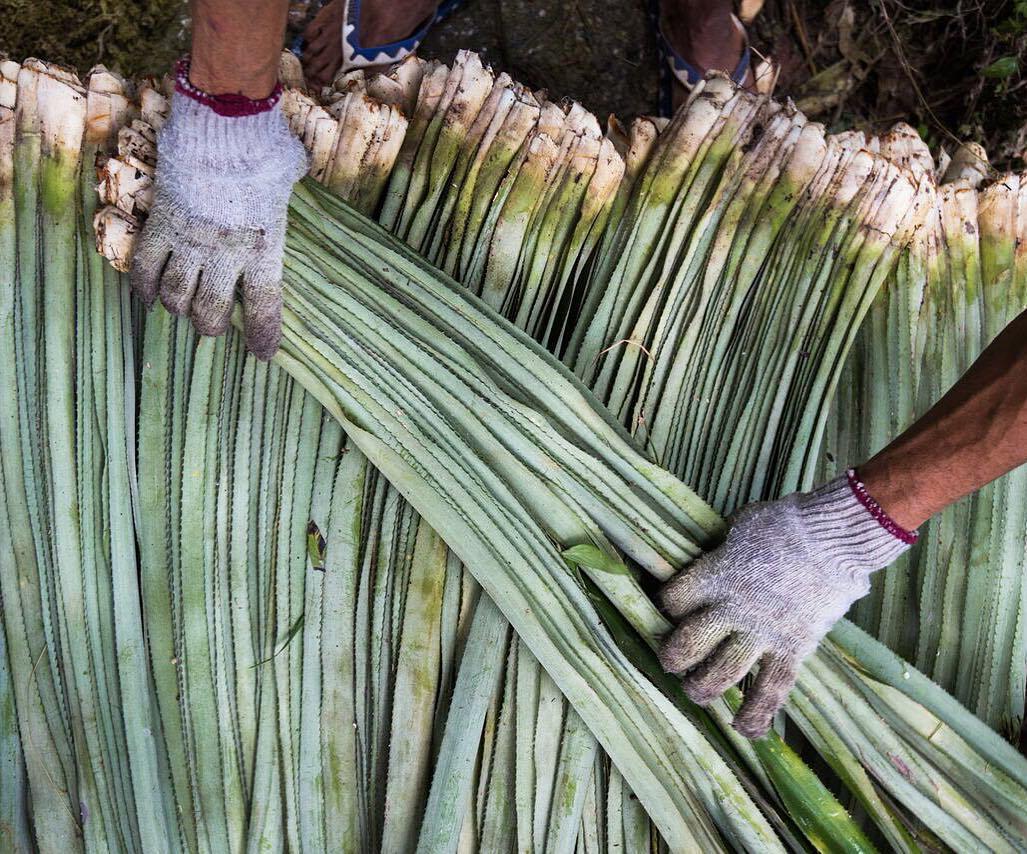 Vải sợi lá dứa - chất liệu tiềm năng cho ngành công nghiệp thời trang bền vững