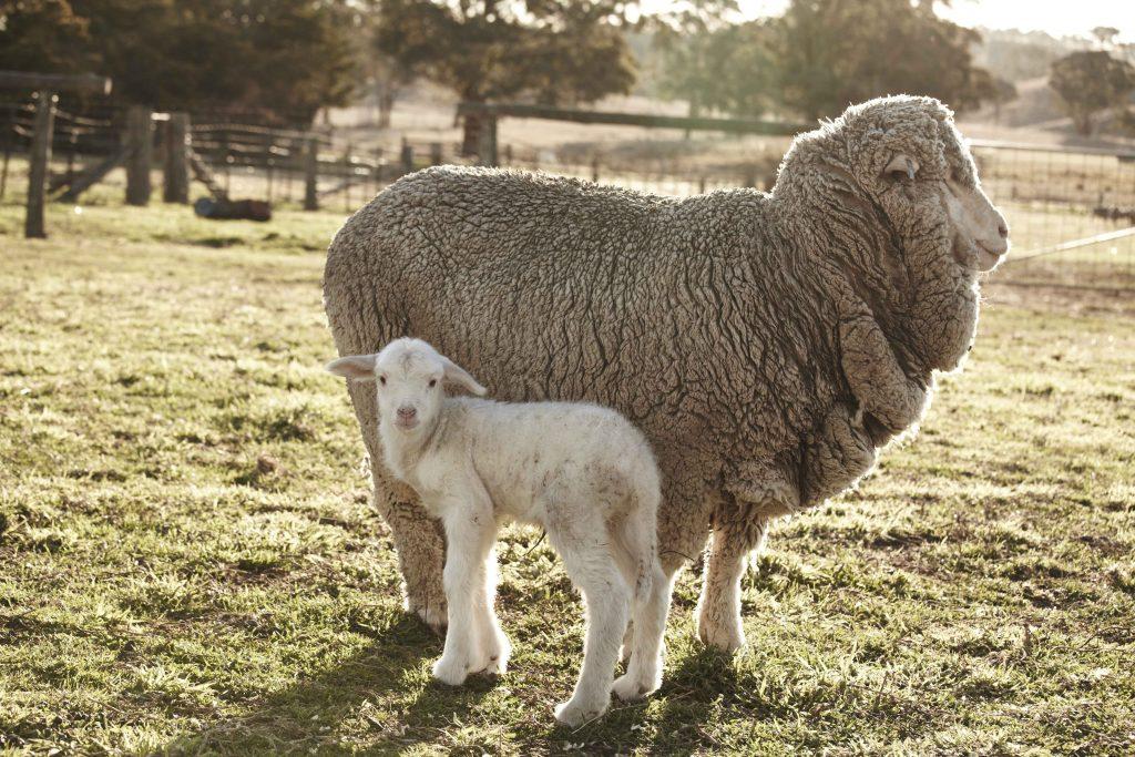 lông cừu merino