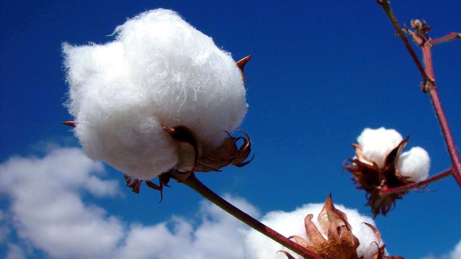 chất liệu vải cotton 1