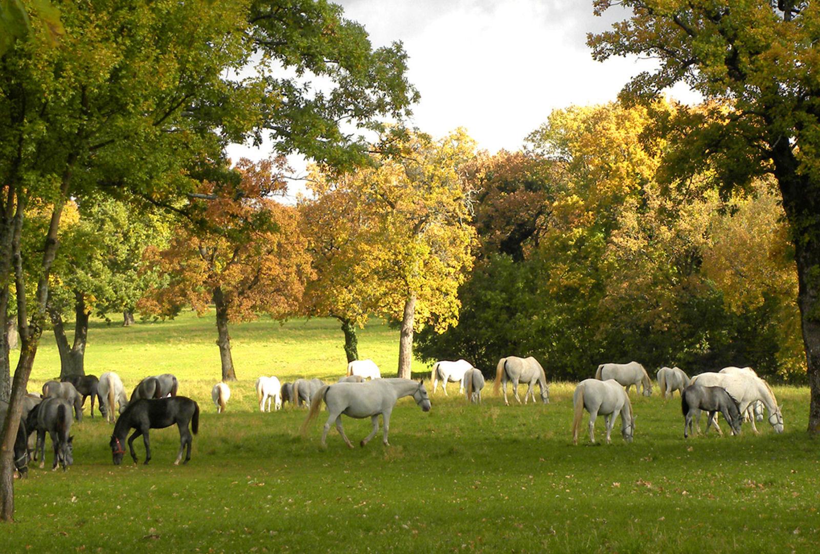 đàn ngựa ăn cỏ dưới rừng cây