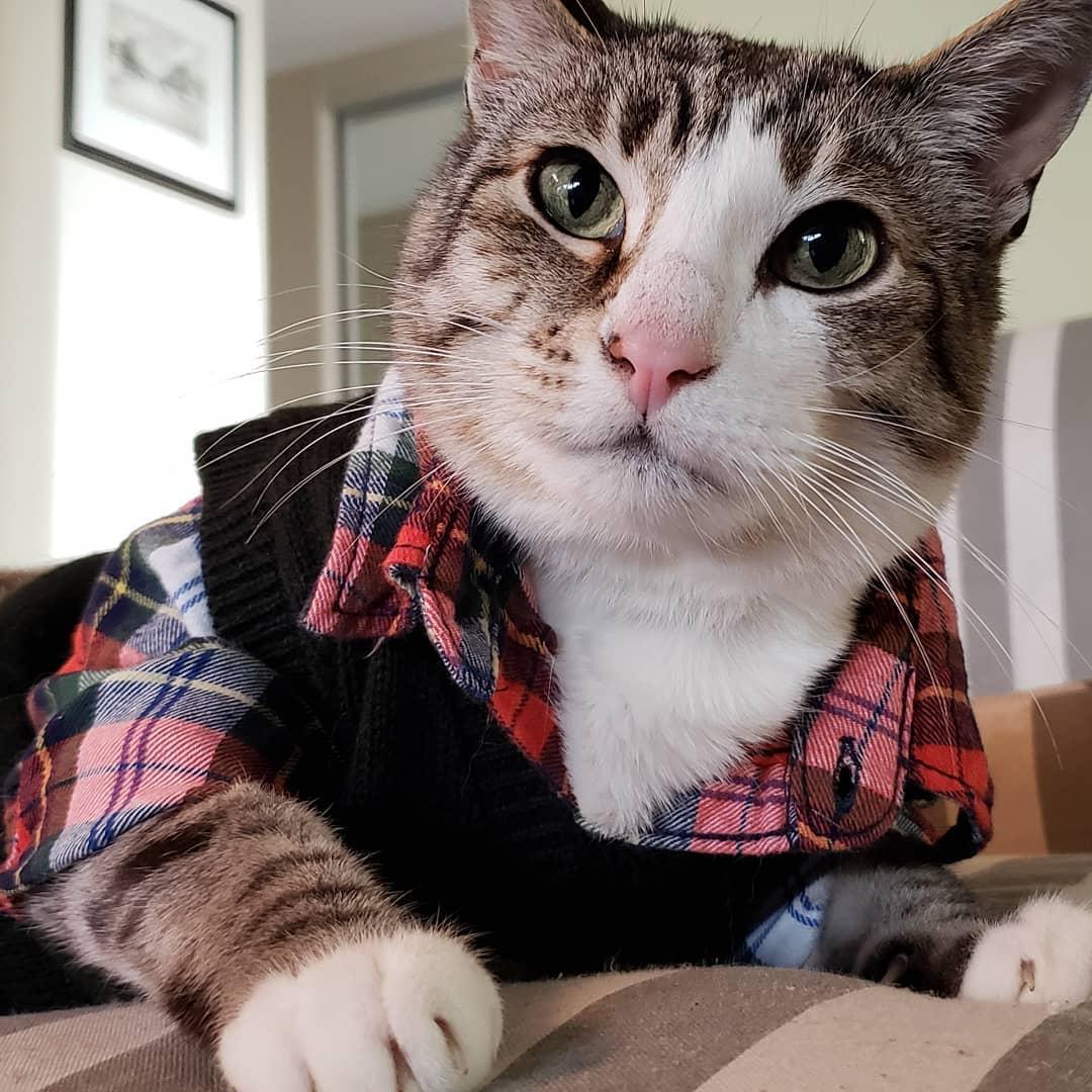 mèo pecan mặc áo sơmi kẻ ô và áo len