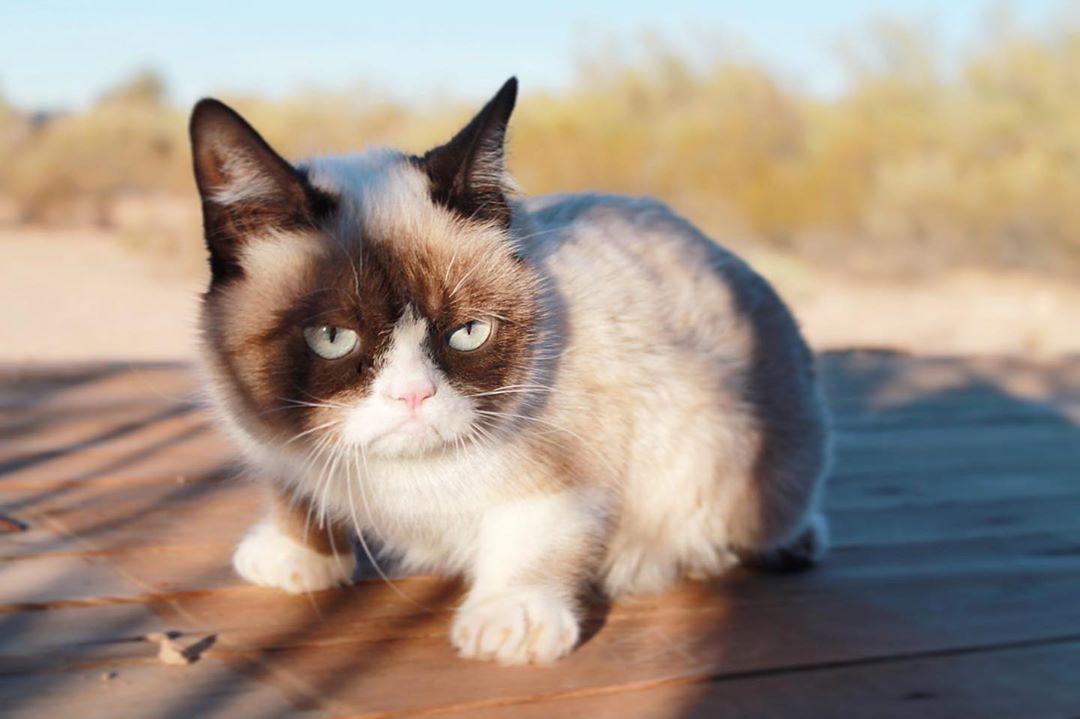 tài khoản instagram của thú cưng grumpy cat