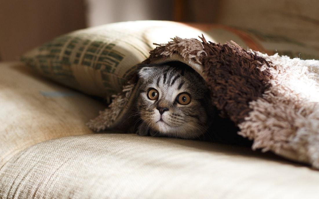 Chú mèo vằn trốn dưới tấm thảm