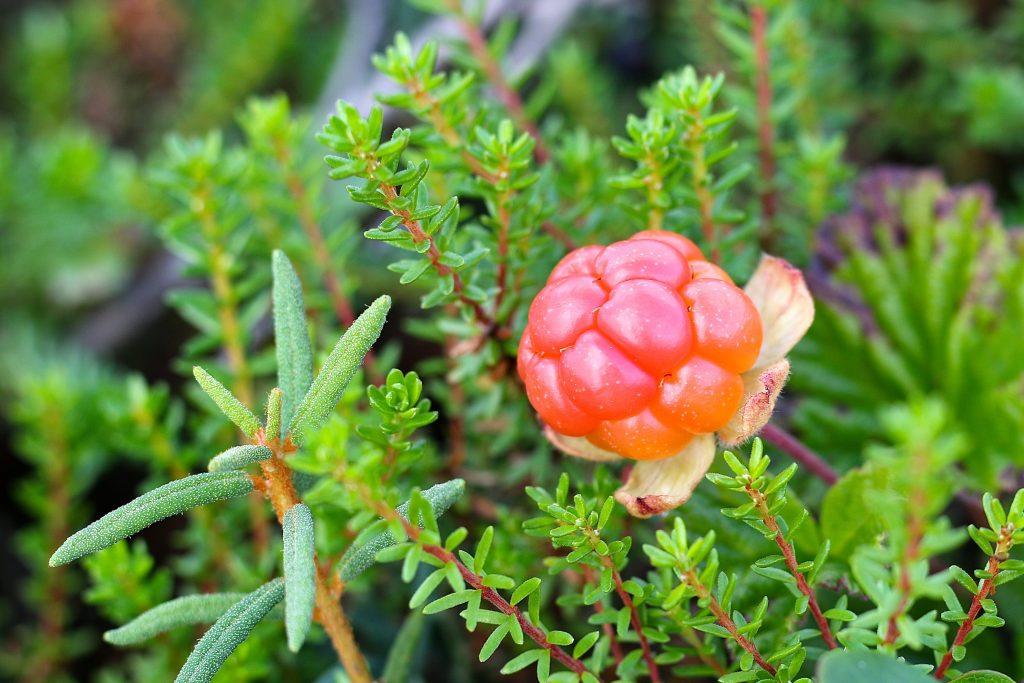 bí quyết làm đẹp tự nhiên từ quả cloudberry - loại quả chỉ mọc hoang tại vùng Scandinavia BẮc Âu
