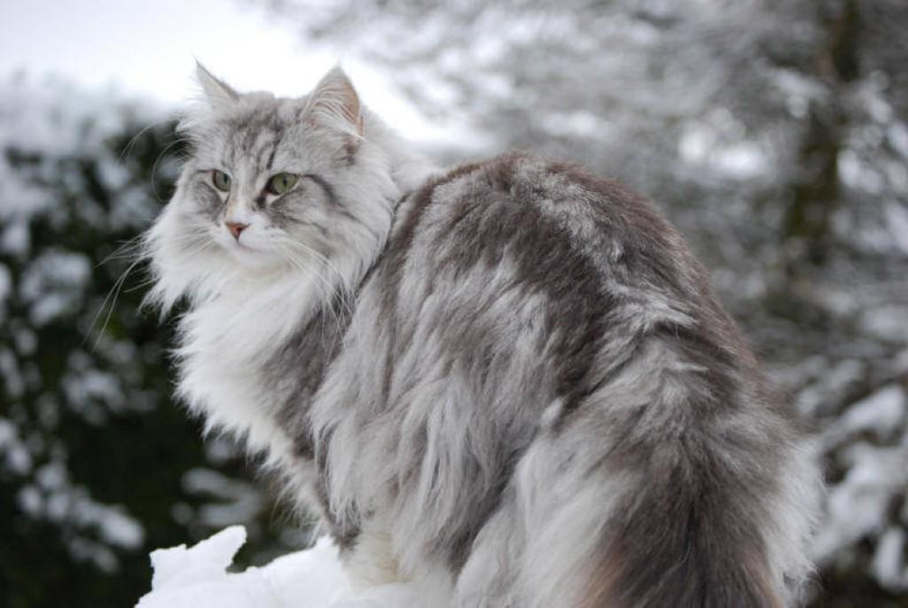 mèo rừng na uy