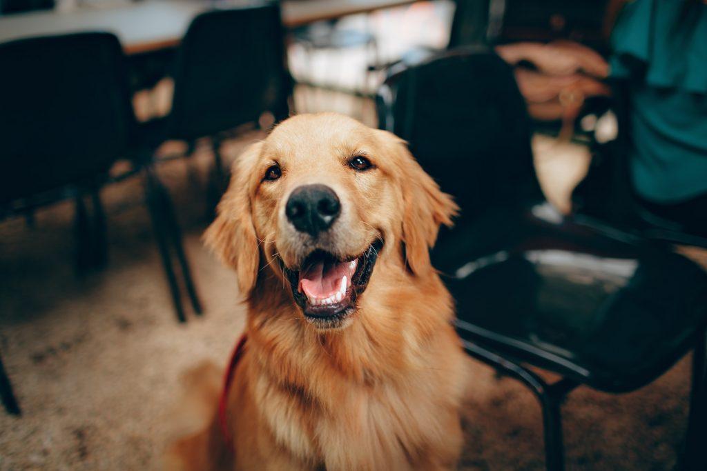 chú chó thú cưng lông vàng