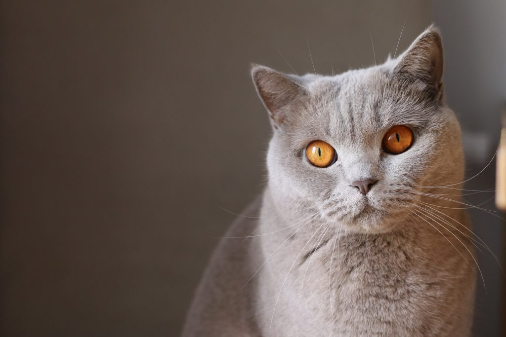 chú mèo thú cưng lông xám