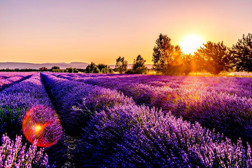 phụ nữ Pháp - cánh đồng hoa lavender