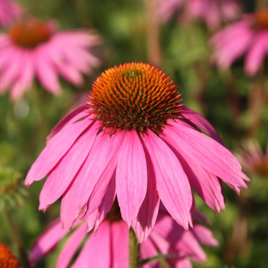 bí quyết làm đẹp từ hoa cúc tím Enchinacea
