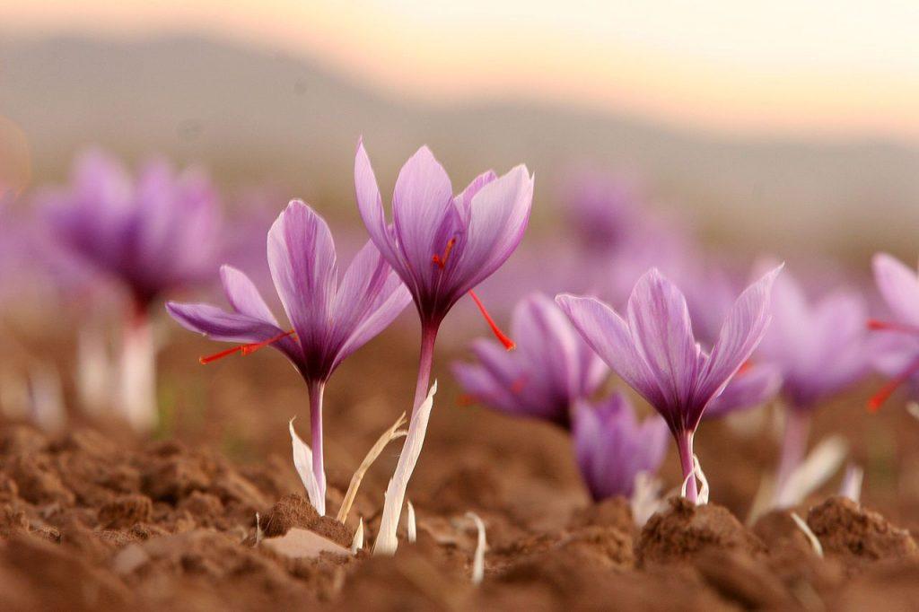 nhụy hoa nghệ tây 05