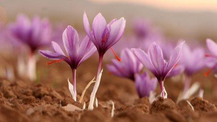 Vì sao nhụy hoa nghệ tây được mệnh danh là