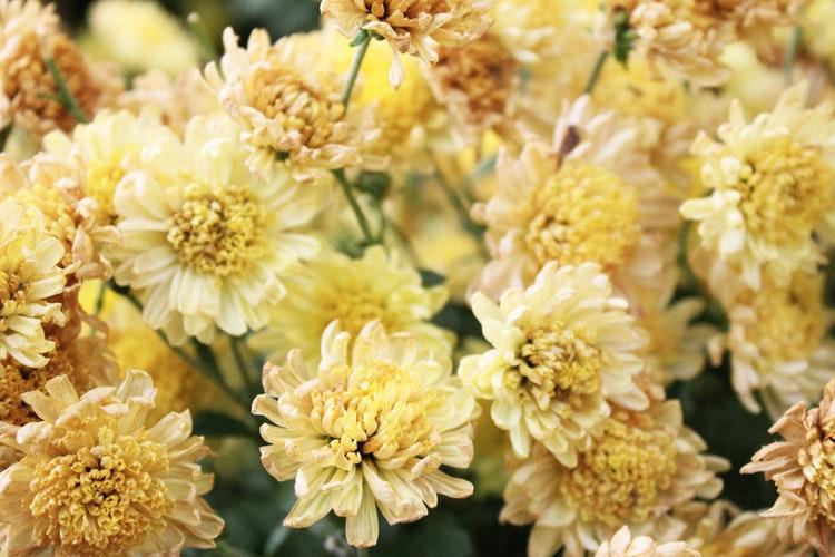hoa cúc nhiều cánh