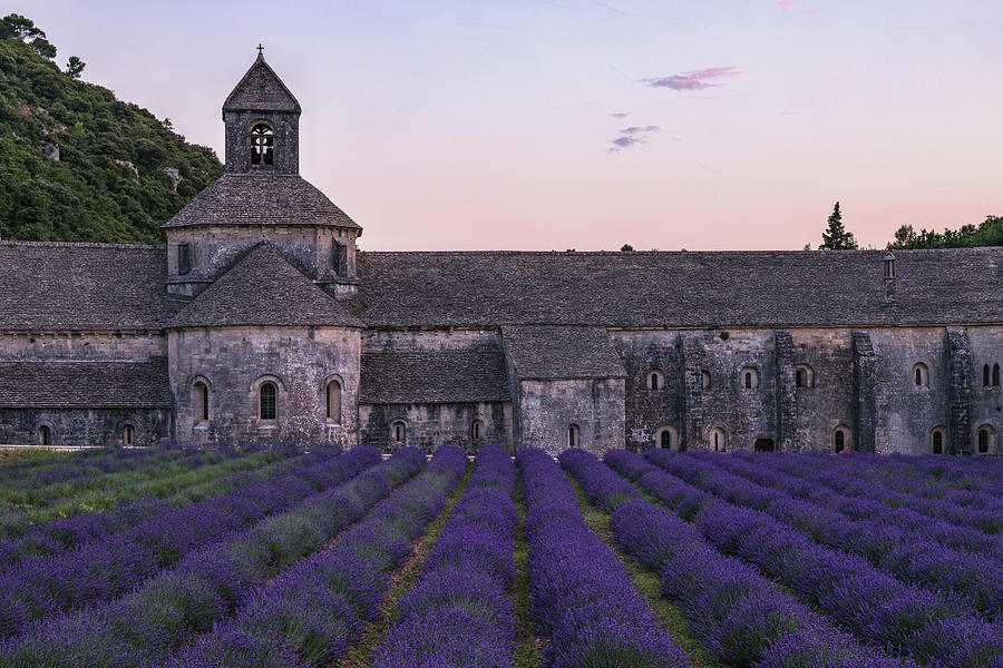 lavender ở notre dame