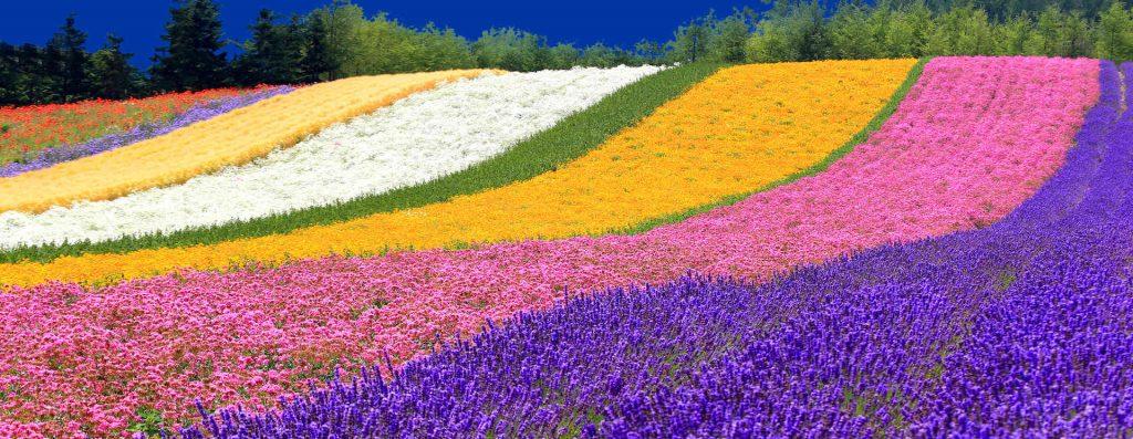 cánh đồng hoa hokkaido