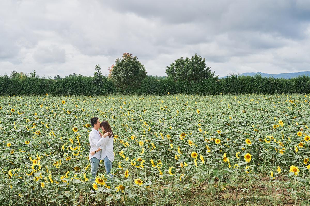 cánh đồng hoa hướng dương ở hokkaido