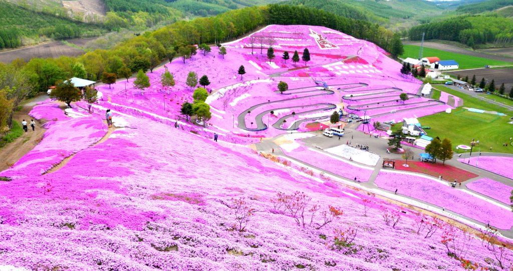 cánh đồng hoa chi anh