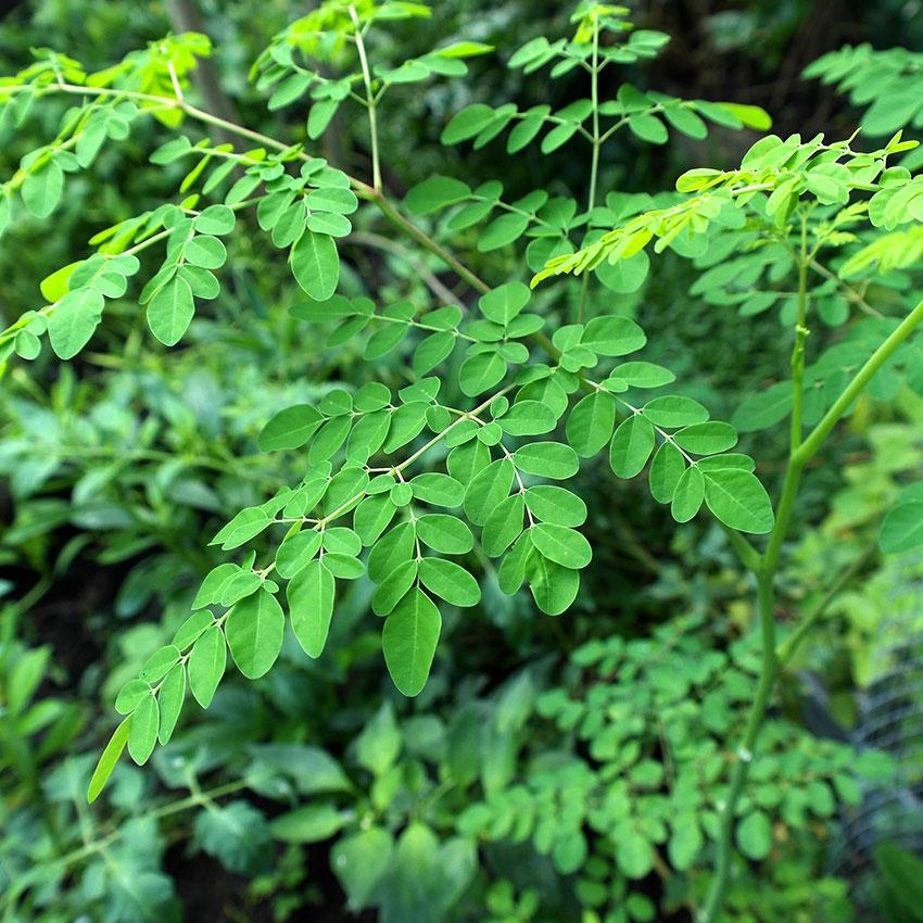 dầu moringa - thành phần làm đẹp