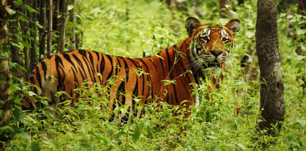 hổ ở vườn quốc gia chitwan