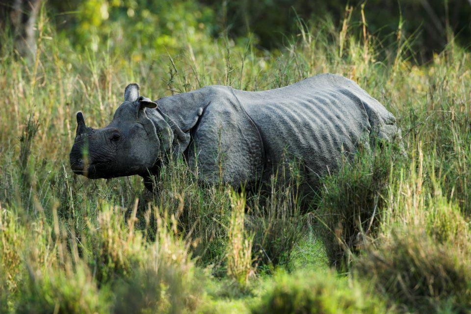 tê giác ở vườn quốc gia chitwan