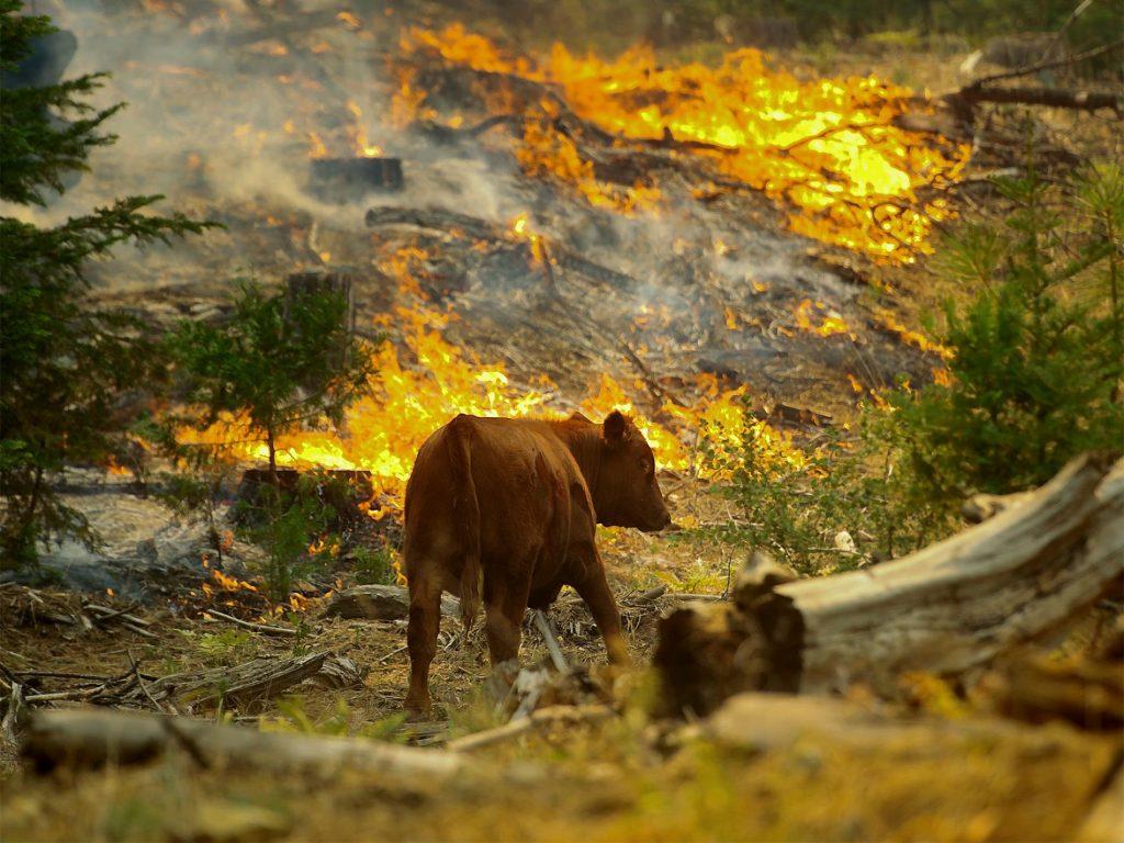 con bò trong đám cháy