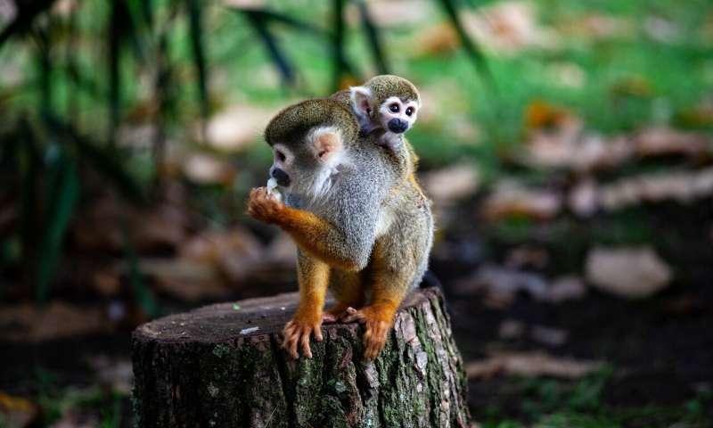 khỉ titi
